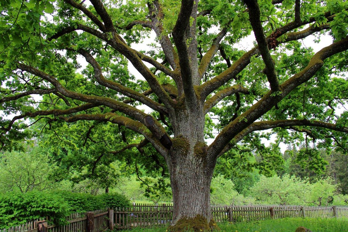 У Лукоморья дуб зелёный... - Нина Бурченкова.