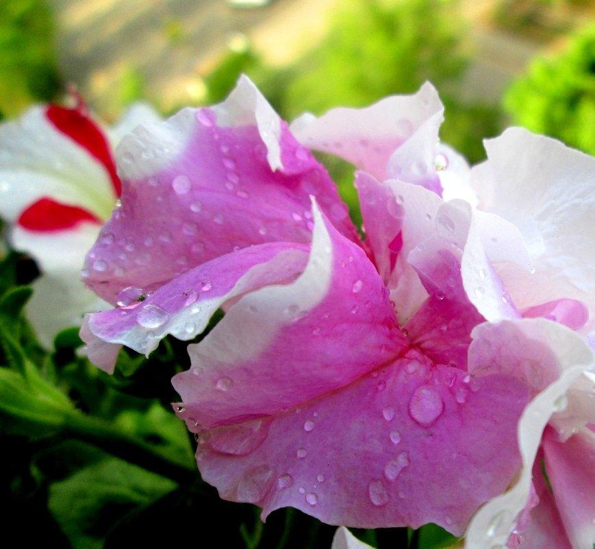 В дождевых капельках - Самохвалова Зинаида