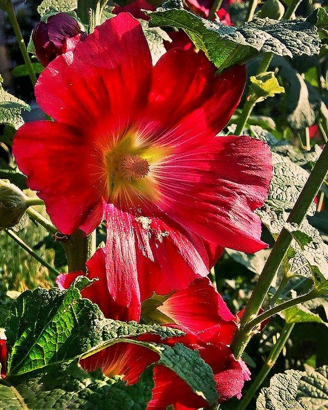 Цветок Мальвы - Владимир Бровко