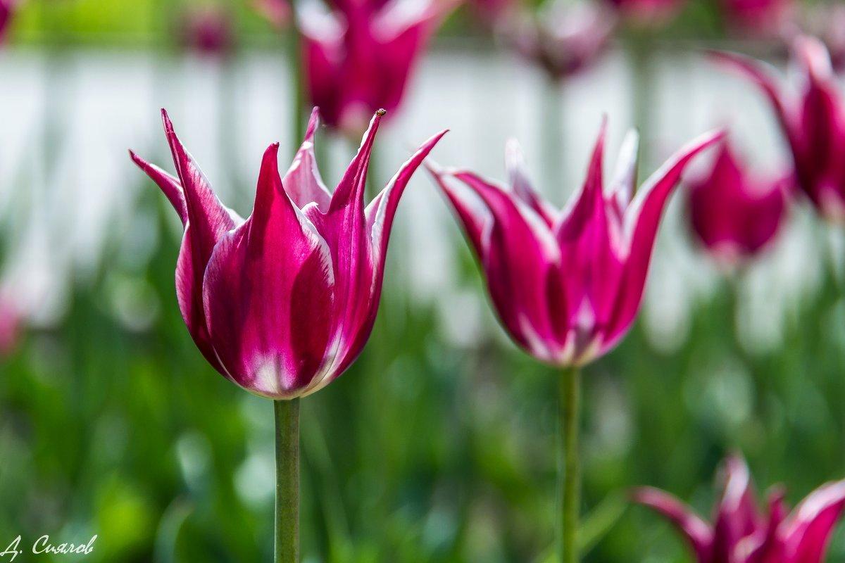 Тюльпаны - Дмитрий Сиялов
