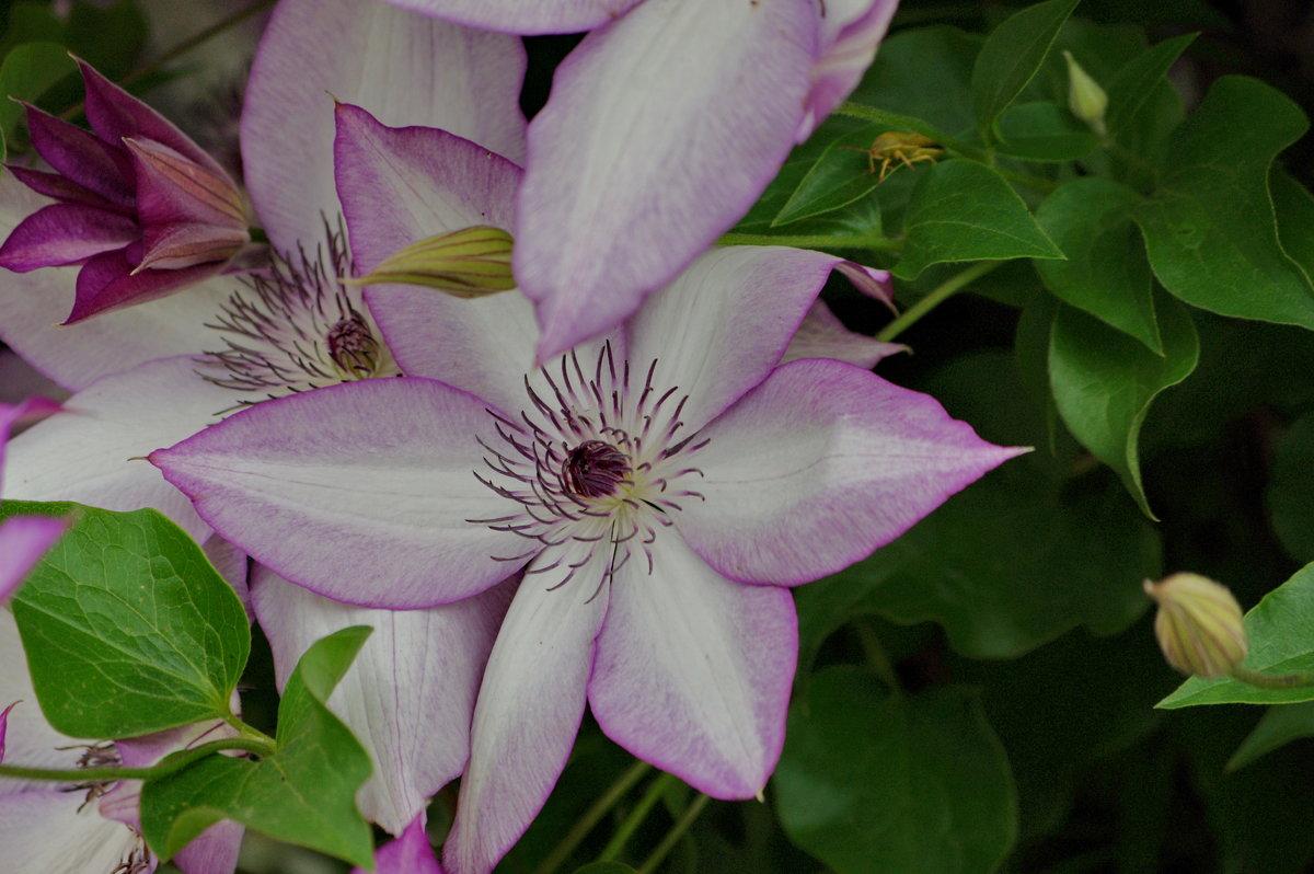 Цветение клематис - * vivat.b *