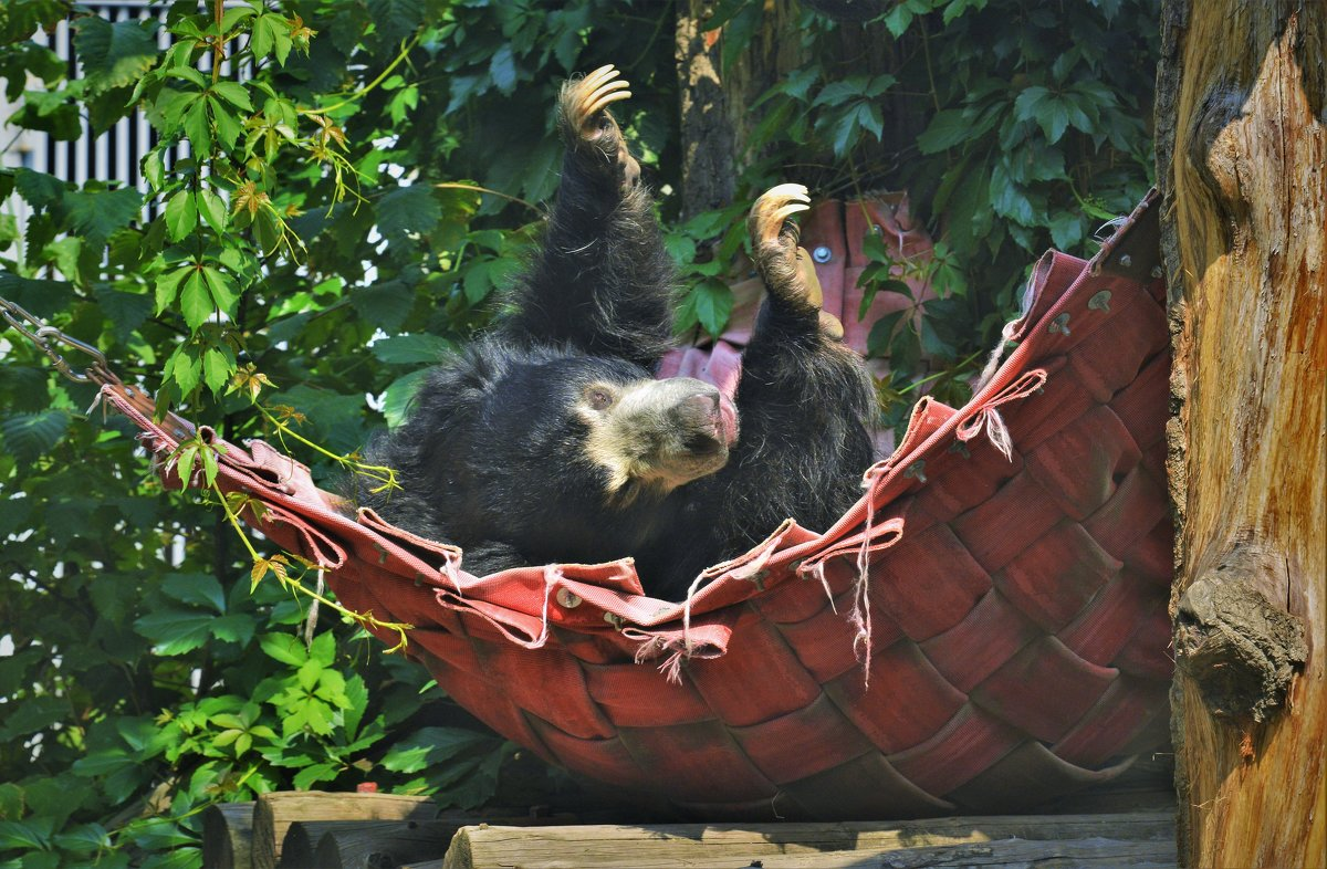 Медведь-губач - Константин Анисимов