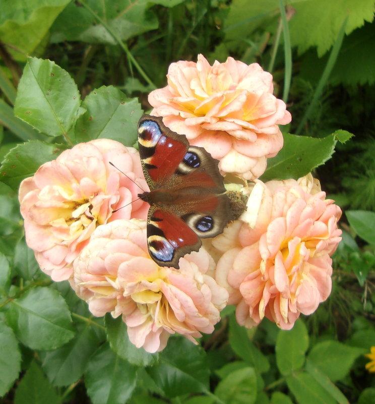 чайные розы самые любимые - елена