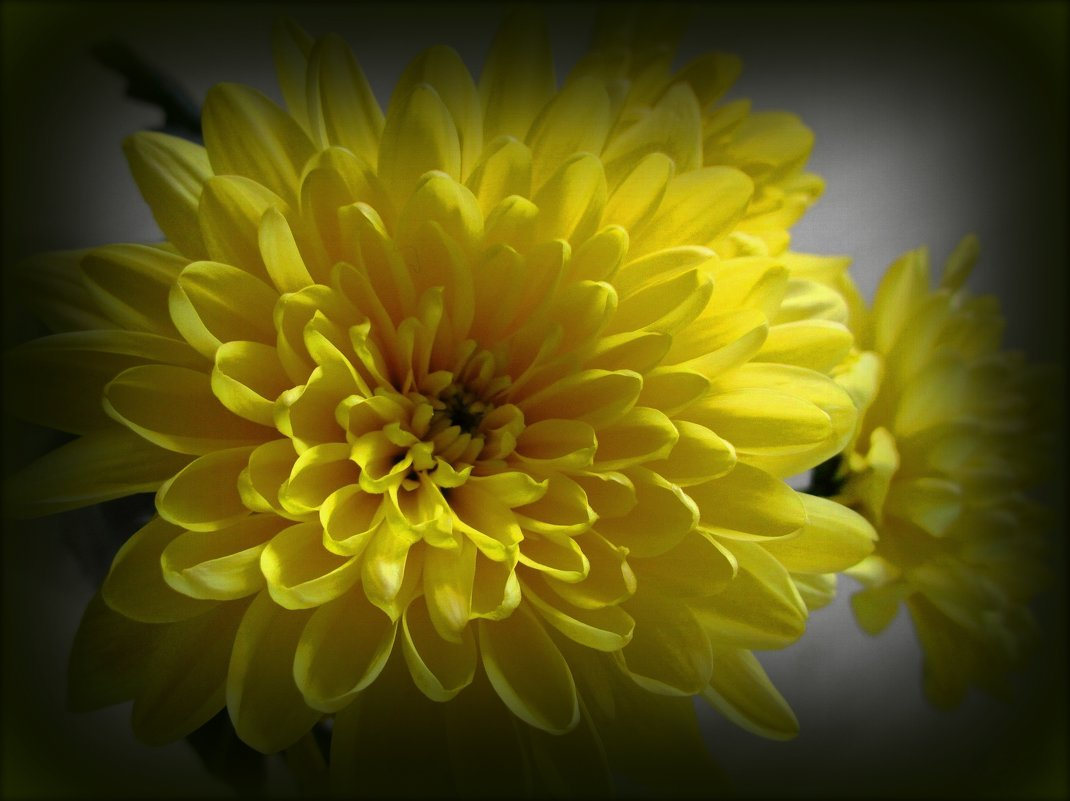 Желтая хризантема - Сергей Карачин