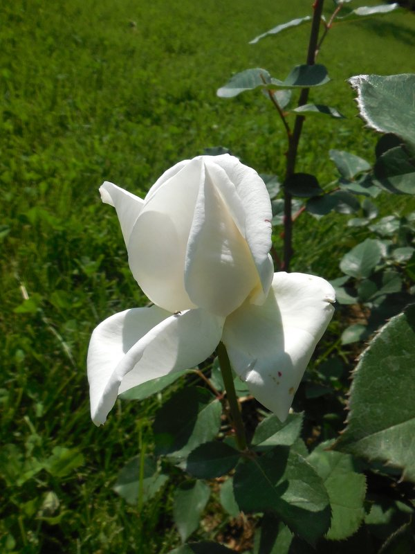 Розы... розы... - Вячеслав Медведев