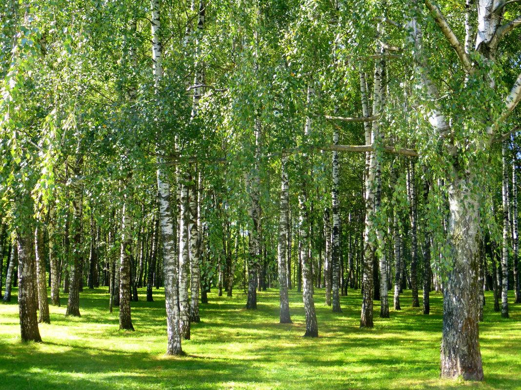 Пейзаж с березками - Татьяна Лобанова