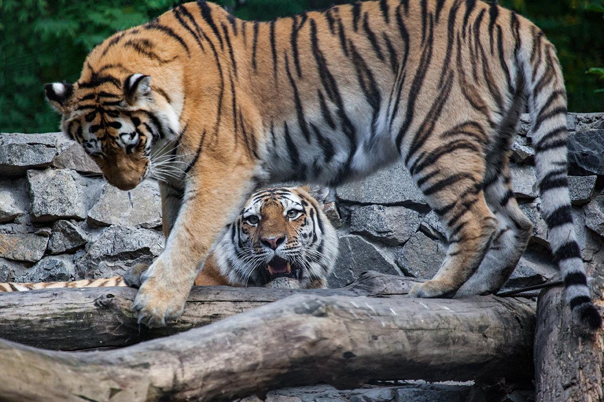 Амурские тигры - Владимир Габов