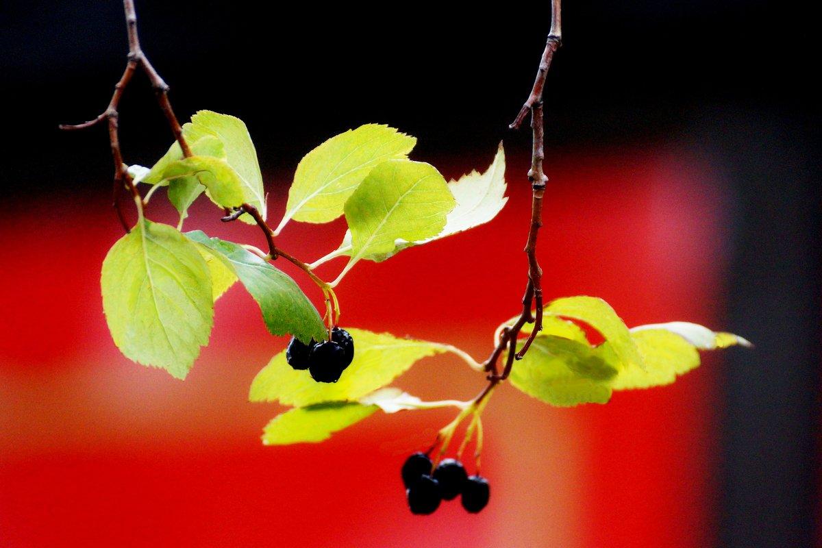 Ветка с ягодами - Wirkki Millson