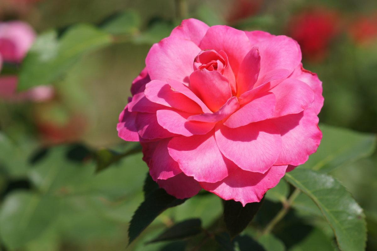 Поздняя роза - Наталия Григорьева