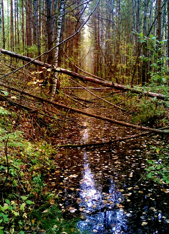заболоченный лес - Владимир