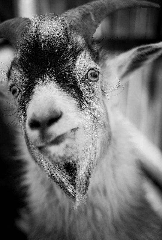 Портрет козы... - Влад Никишин