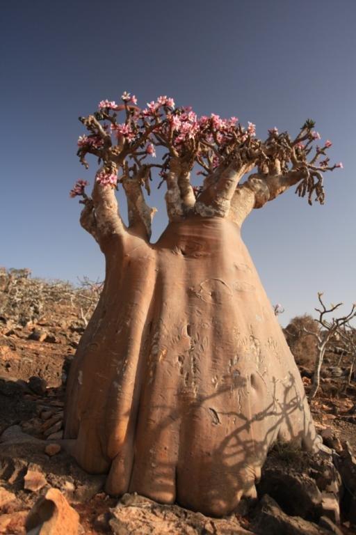 Бутылочное дерево - Ветер Странствий.орг
