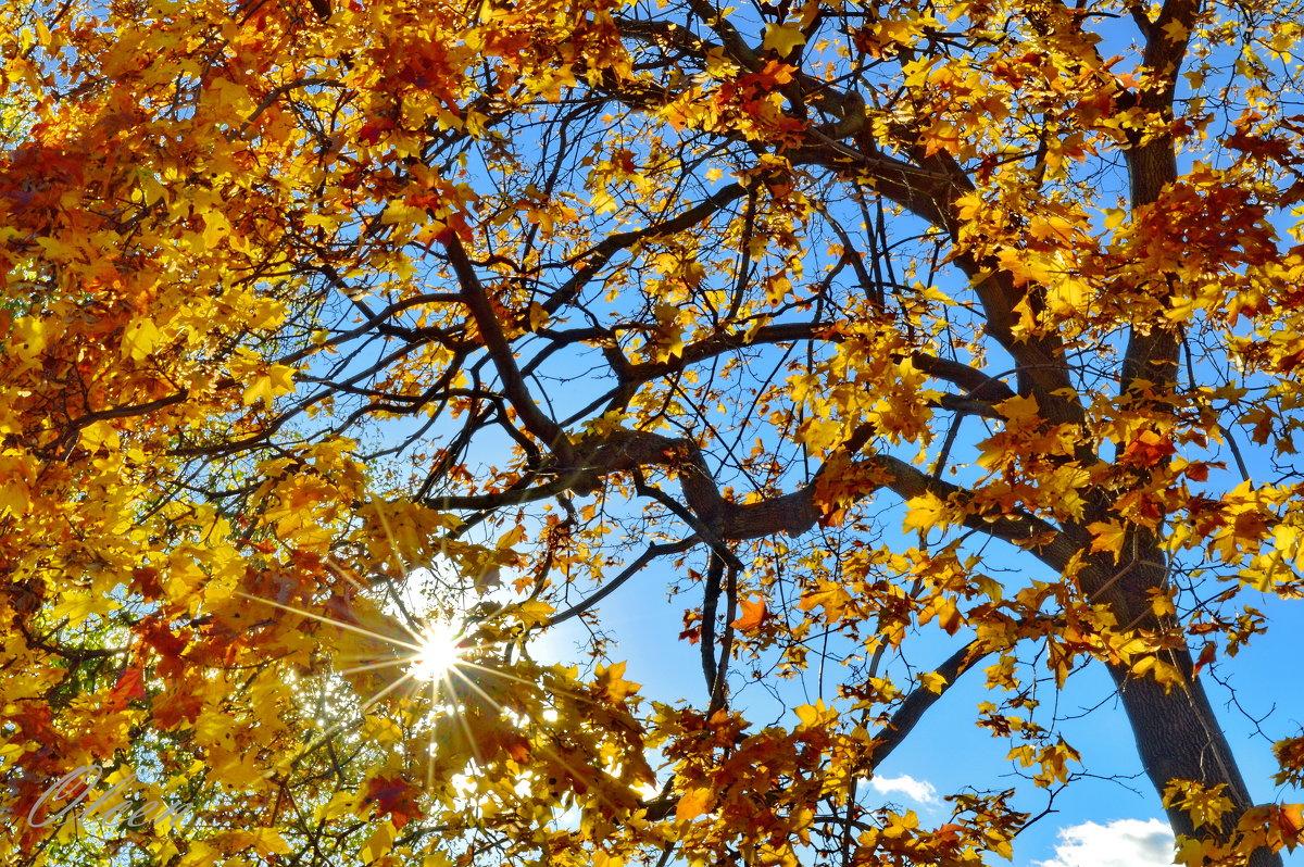 Солнце в кленовых листьях - Olcen Len