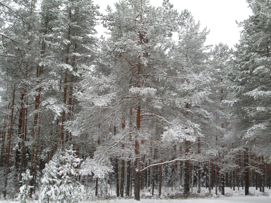 Сосна в зимнем лесу - Антон Завьялов