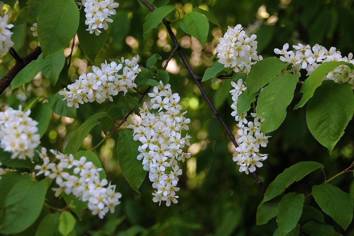 Когда черемуха цветет, весна прохладу обещает - Tatiana Markova