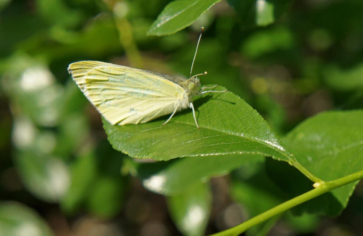 Бабочка на листке вишни. - сергей
