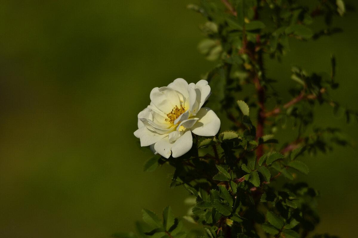 Белый шиповник, дикий шиповник Краше садовых роз - Солоненко Лидия