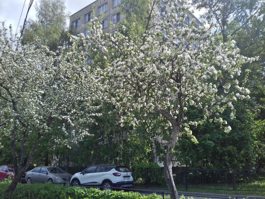 Яблоня - Сапсан