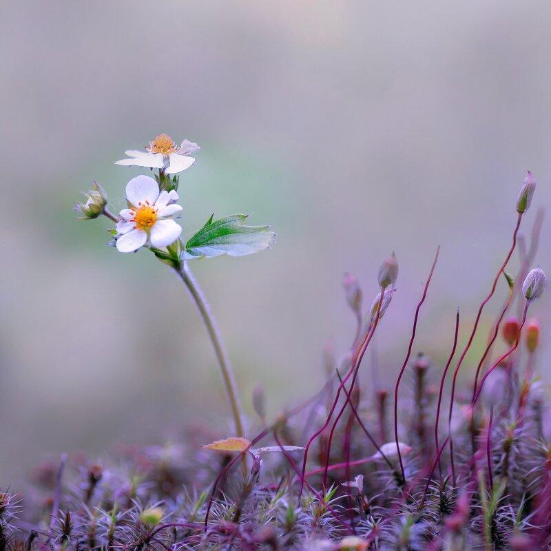 Цветёт земляника - kvstu