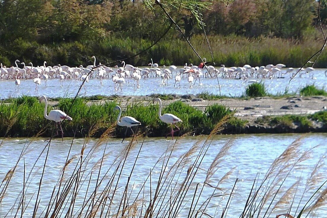 Фламинго в природном парке Камарг - Лидия Бусурина