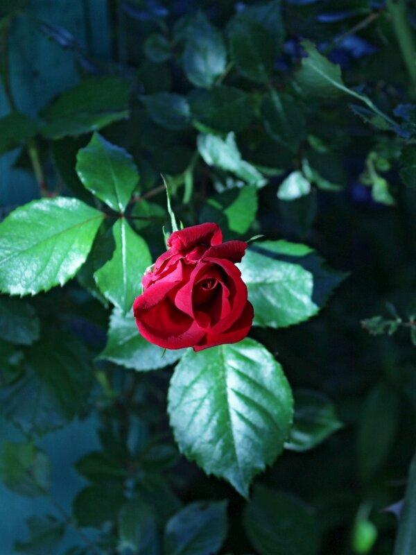 Роза красная цвела - Константин Строев