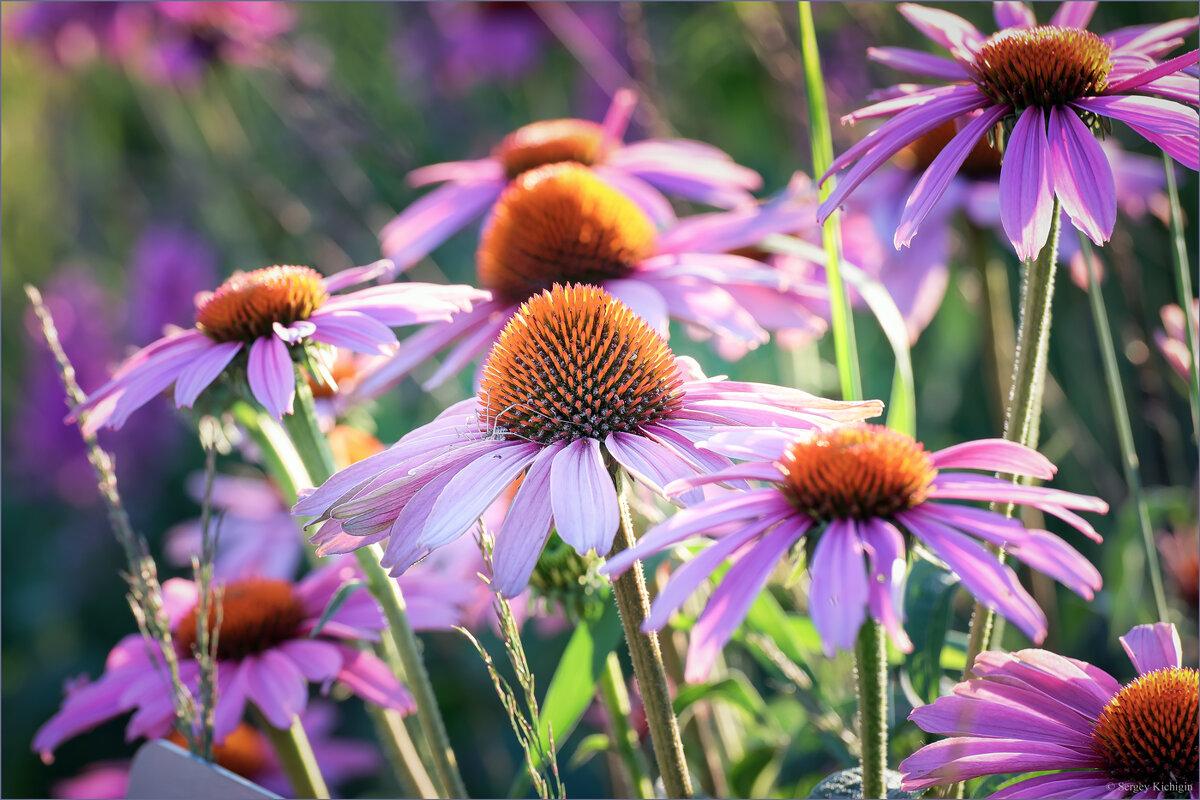 Летние цветы... - Сергей Кичигин