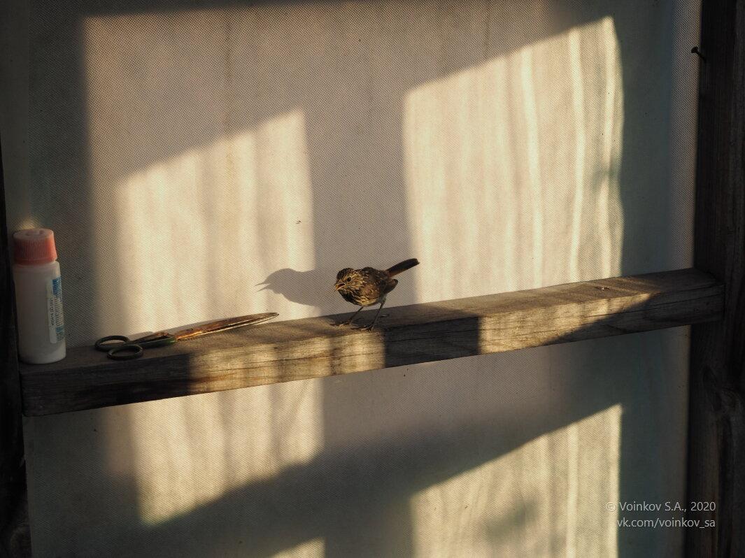 Птенец соволья, заблудившийся в теплице - Сергей Воинков