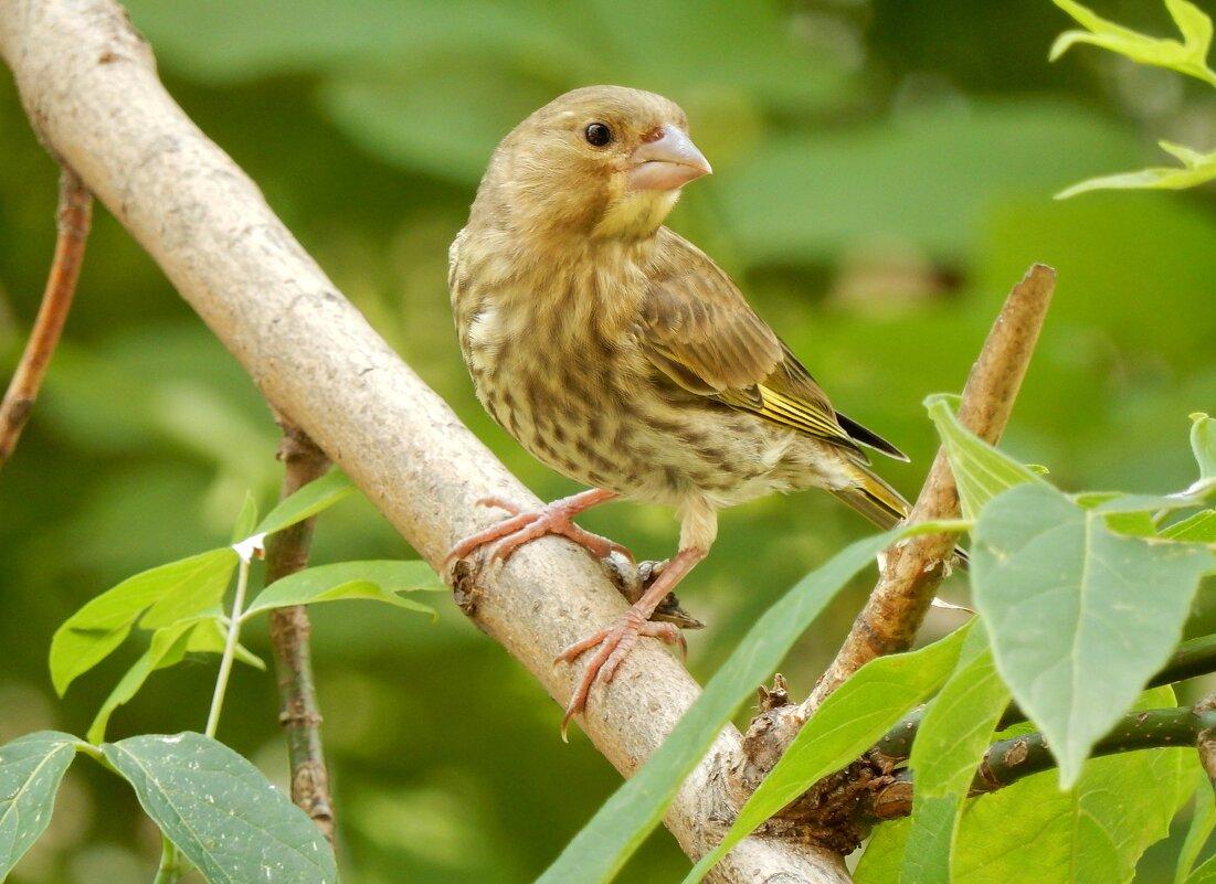 Птичка певчая - ТаБу