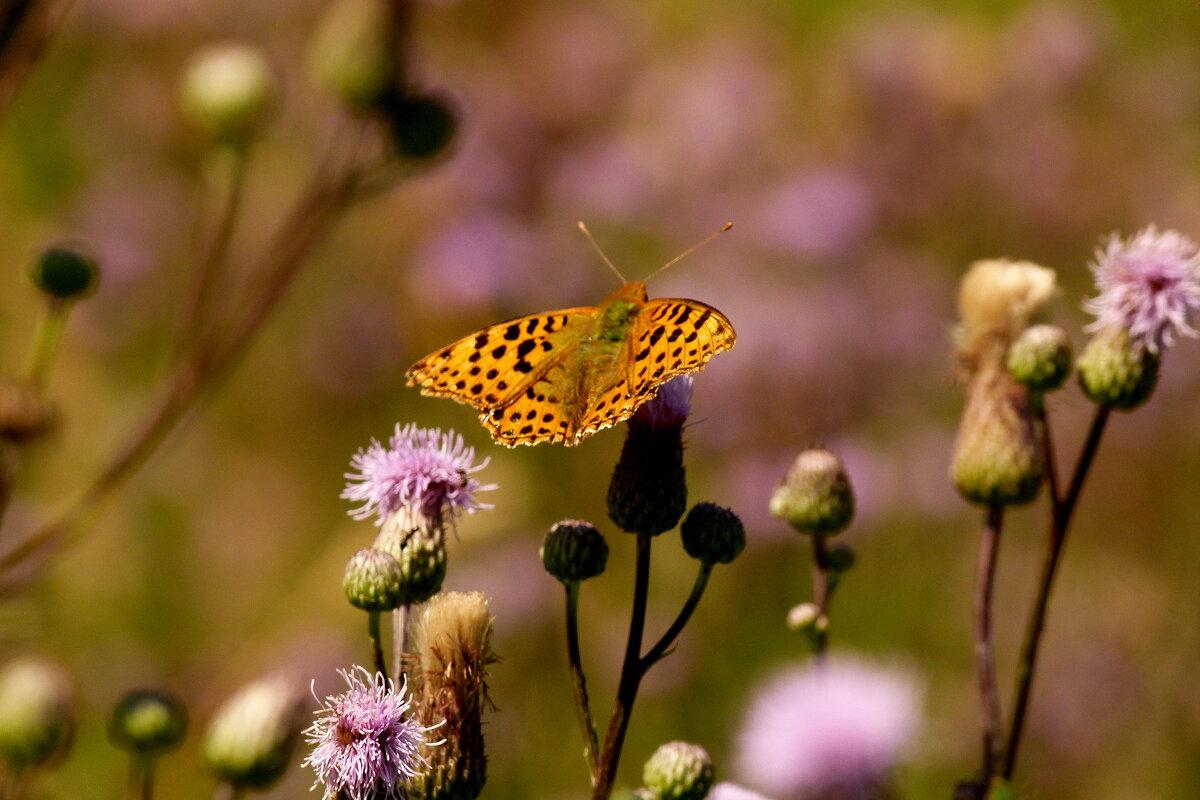 ну вот и бабочки..4 - Александр Прокудин