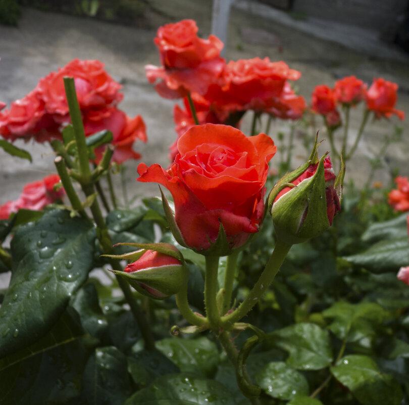 Розы - Валентин Семчишин