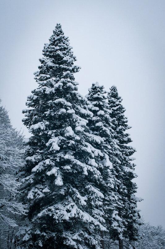 Снежные ели - Анна Лищук