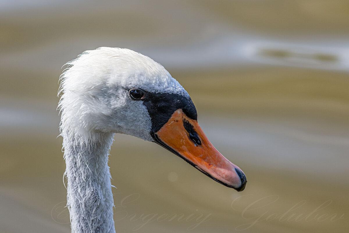 Портрет лебедя в профиль. - Евгений Голубев