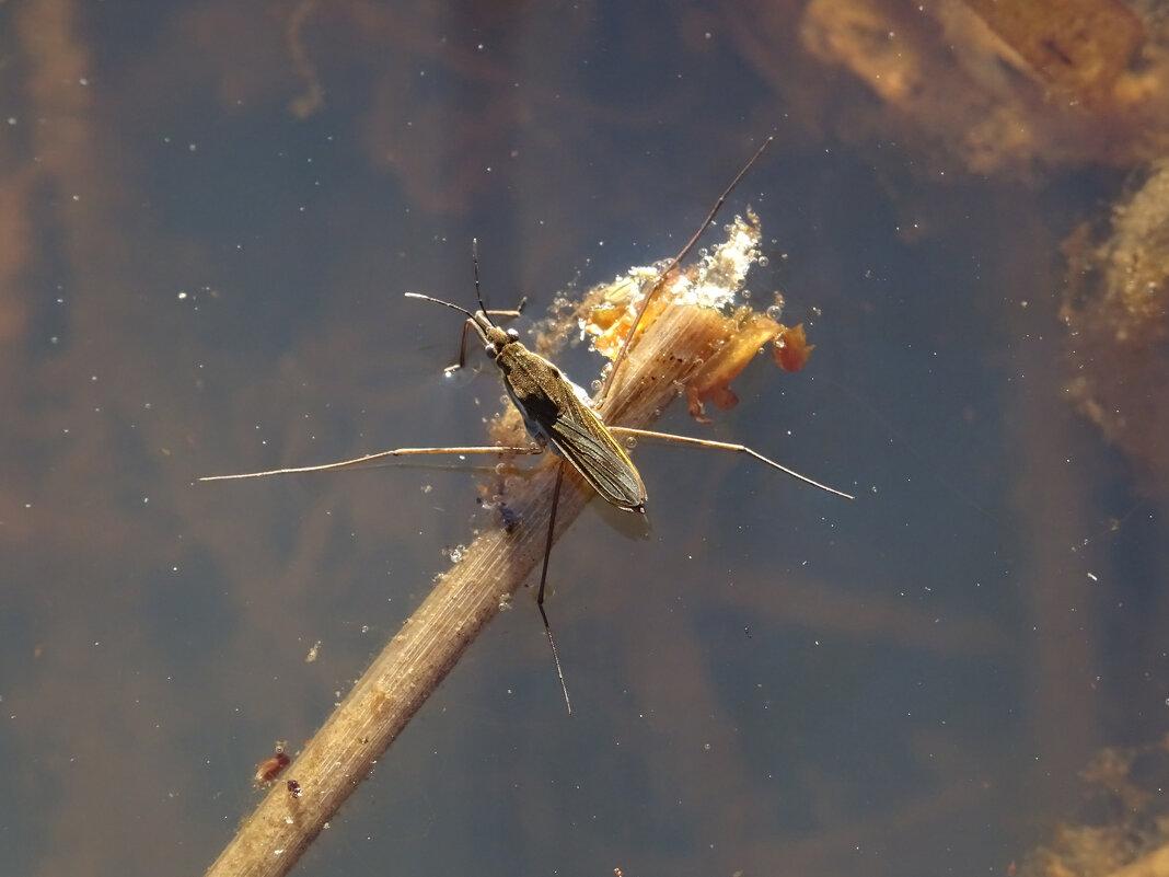 Водомерка (Gerridae) - Денис Бочкарёв
