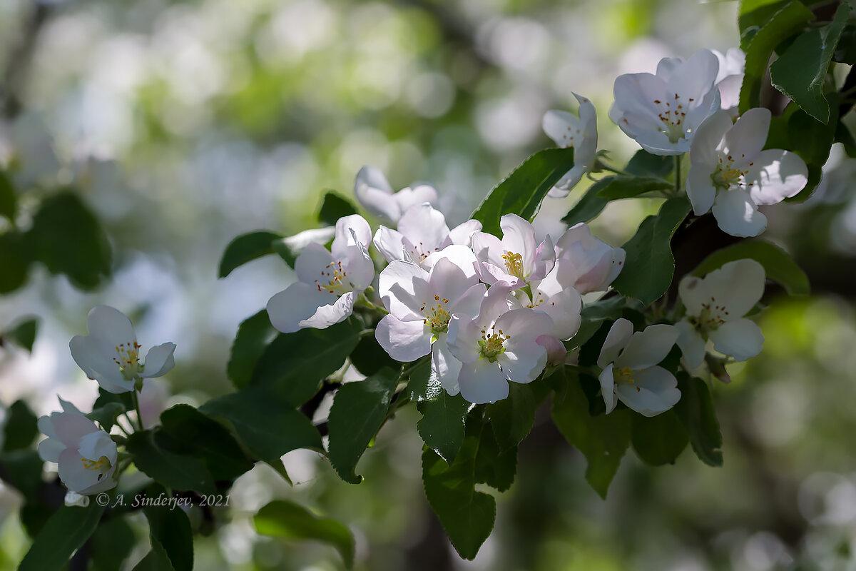 Цвет на яблоне - Александр Синдерёв