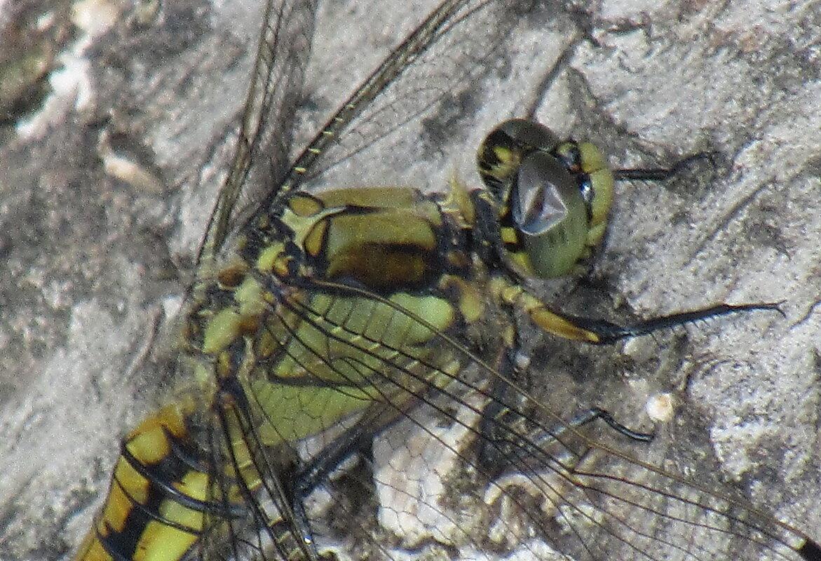 Молодая решетчатая стрекоза, Orthetrum cancellatum) - Александр Чеботарь
