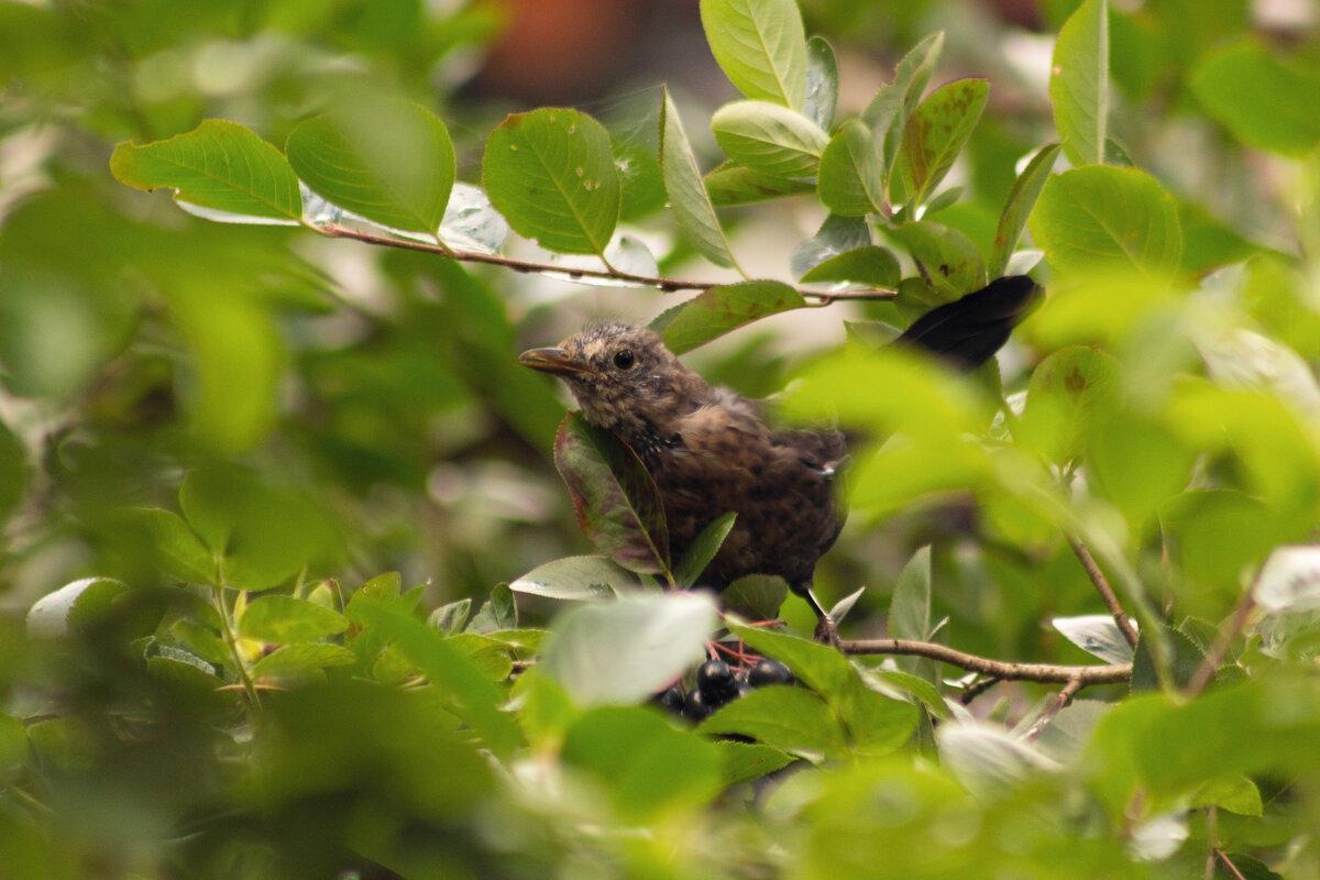 Птичка в кустах черноплодки - Aнна Зарубина