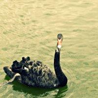 Черный Лебедь. :: Маry ...
