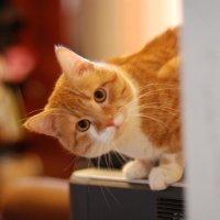 Рыжий кот :: Lifox-Ксения ~Aku-Aku~