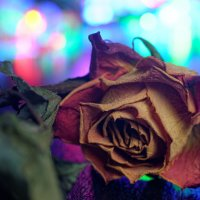 Сухая роза :: Георгий Муравьев