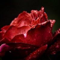 Красная роза - атлас лепестков :: Олег Сидорин