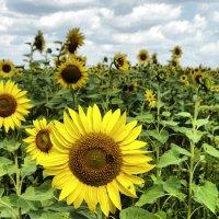 Солнечное поле :: Владимир Кроливец