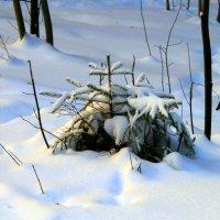 Маленькой ёлочке не холодно зимой... :: Ольга Кесс