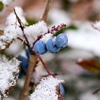 Снег и Магония... :: Елена Васильева