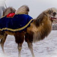 Верблюд, снег и Новый год. :: Наталья ***