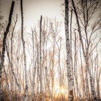 Закат в зимнем лесу. 03.12.2014 :: Даба Дабаев