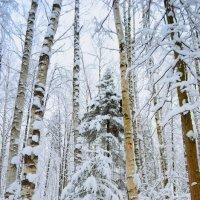 зимний лес :: Оксана Грищенко