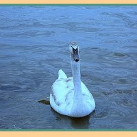 фотошоп лебедь :: Елена Анатольевна Олюнина