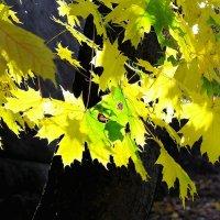 листья клена :: юрий иванов