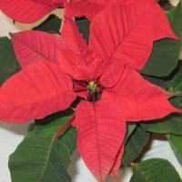 Рождественская звезда - пуансеттия :: Маера Урусова