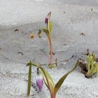 Весенние  цветы :: василий Ляпунов